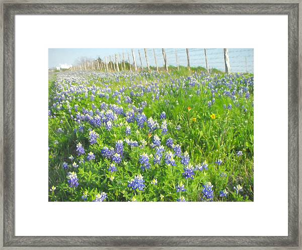 Roadside Bluebonnets  Framed Print