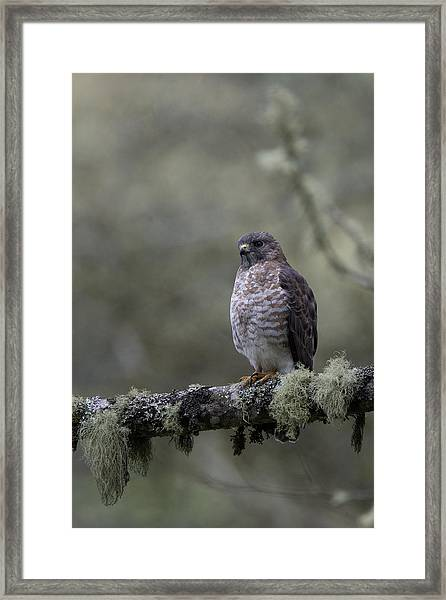 Roadside Hawk On Lichen-covered Branch 1 Framed Print