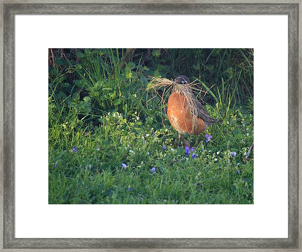 Robin Gathering For Nest Framed Print