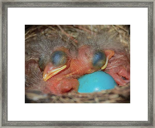Robin Hatchlings Framed Print