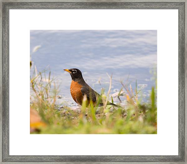 Robin Viewing Surroundings Framed Print