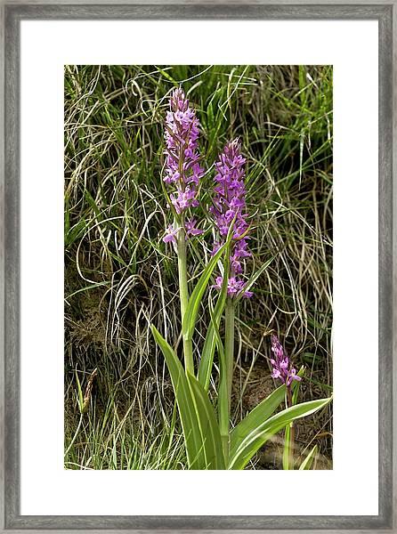 Robust Marsh Orchid (dactylorhiza Elata) Framed Print