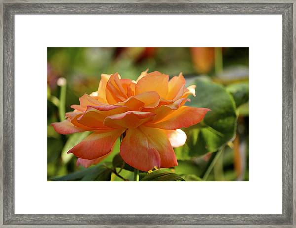 Rose 2 Framed Print