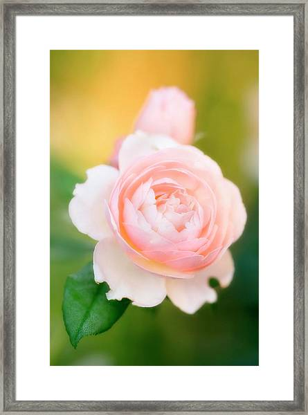 Rose Flowers (rosa Hybrid) Framed Print by Maria Mosolova/science Photo Library