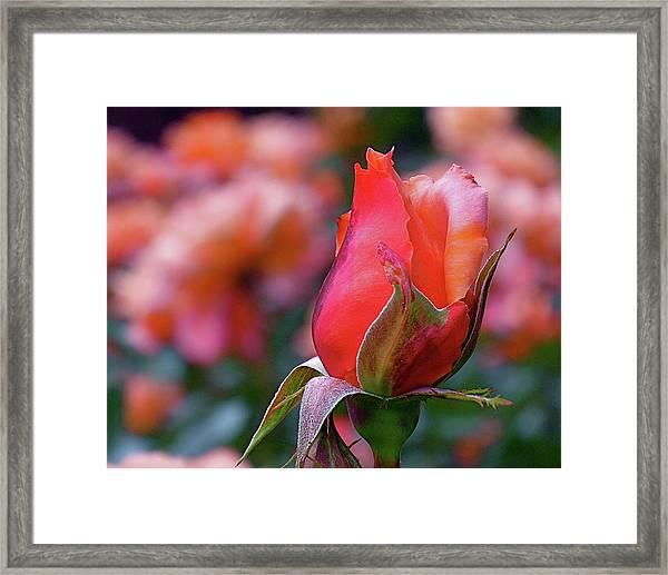 Rose On Rose Framed Print