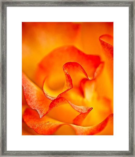 Rose Petals Closeup Framed Print