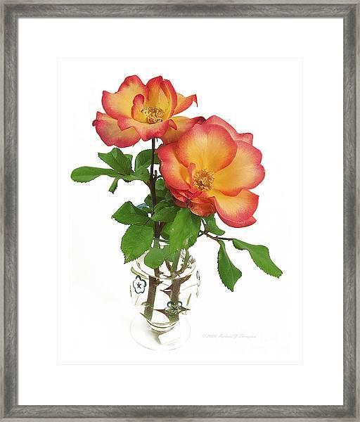 Rose 'playboy' Framed Print