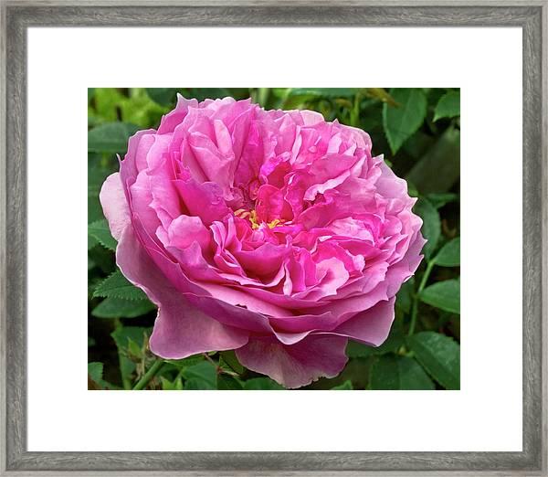 Rose (rosa 'cessa') Flower Framed Print by Ian Gowland