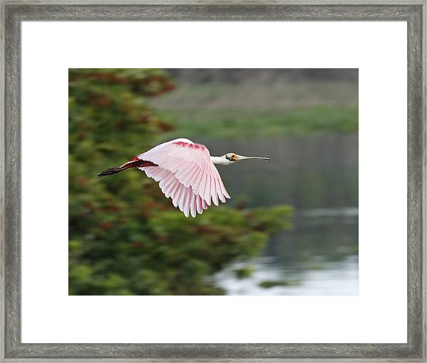 Roseate Spoonbill In Flight Framed Print