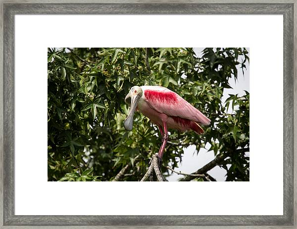 Roseate Spoonbill  What Are You Looking At 2 Framed Print