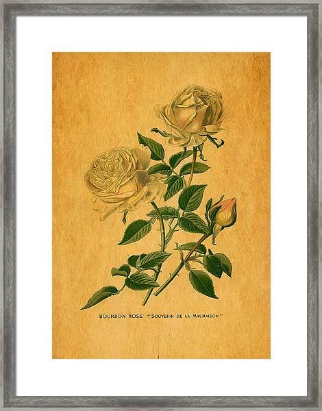 Roses Are Golden Framed Print