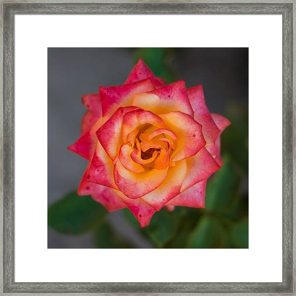 Roses From My Garden Framed Print