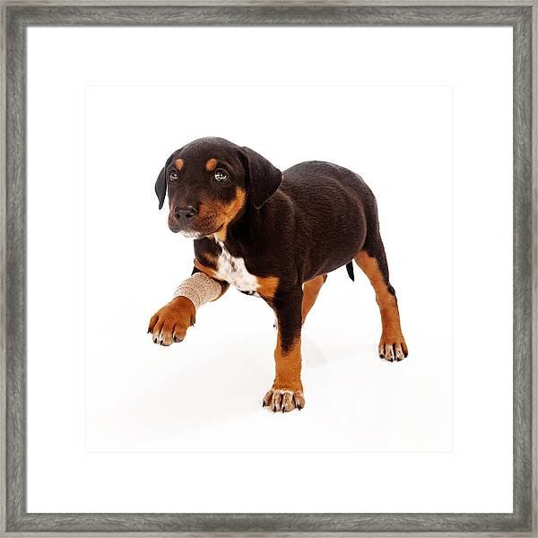 Rottweiler Puppy Injured Paw Framed Print