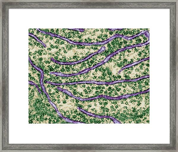 Rough Endoplasmic Reticulum With Ribosomes Framed Print