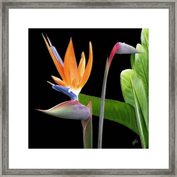 Royal Beauty II - Bird Of Paradise Framed Print
