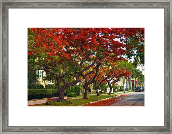 Royal Poinciana Trees Blooming In South Florida Framed Print