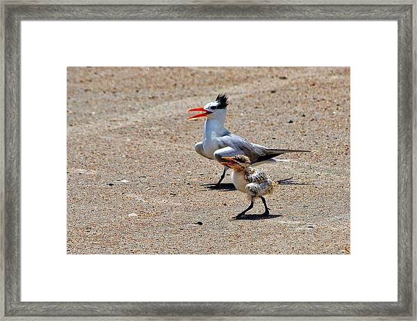 Royal Tern With Chick Framed Print