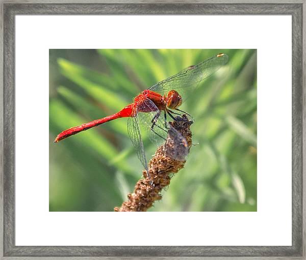 Ruby Meadowhawk Dragonfly Framed Print