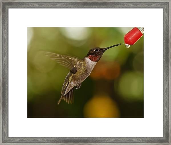 Ruby-throat Hummingbird Framed Print