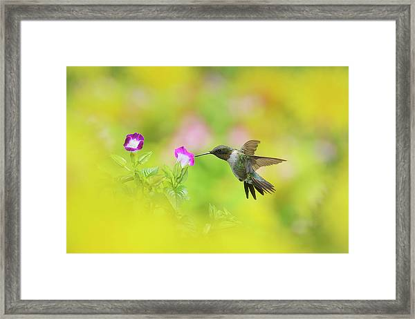 Ruby-throated Hummingbird Male Framed Print by Rolf Nussbaumer