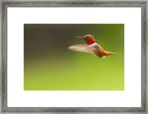 Rufous Hummingbird Male Framed Print