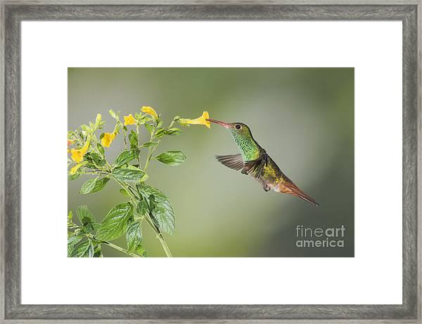 Rufous-tailed Hummingbird Framed Print