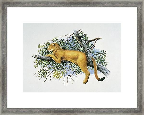 Saber Tooth Lion Framed Print by Deagostini/uig/science Photo Library