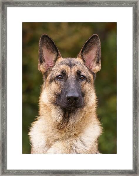 Sable German Shepherd Dog Framed Print