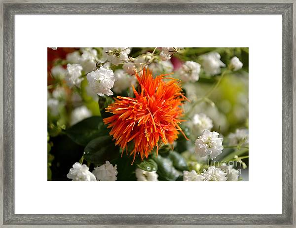 Framed Print featuring the photograph Safflower Amongst The Gypsophilia by Scott Lyons