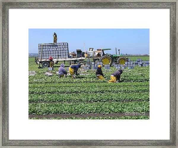Salinas Farmworkers Framed Print