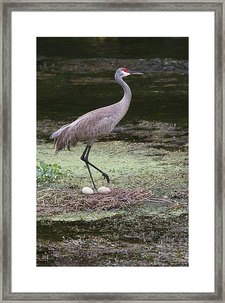 Sandhill Crane And Eggs Framed Print