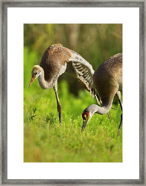 Sandhill Crane Chick Stretching Framed Print