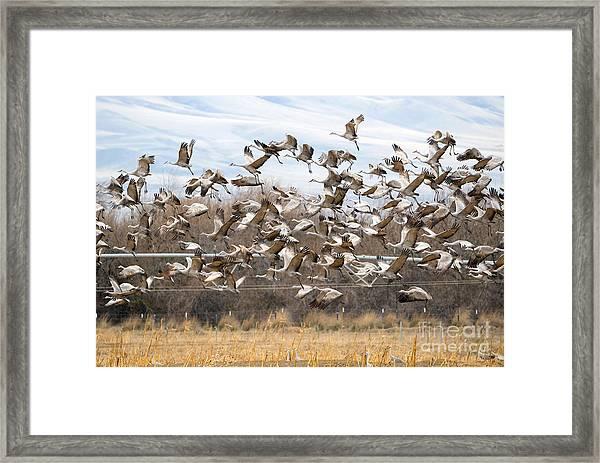 Sandhill Crane Explosion Framed Print