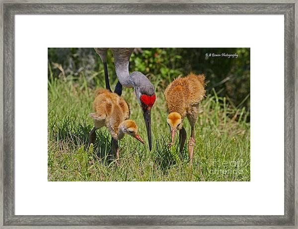 Sandhill Crane Family Feeding Framed Print