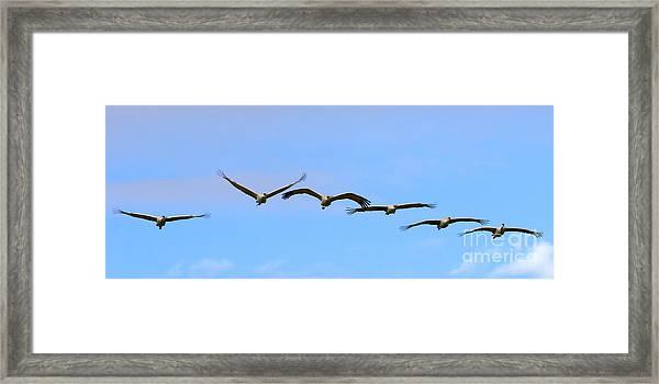 Sandhill Crane Flight Pattern Framed Print