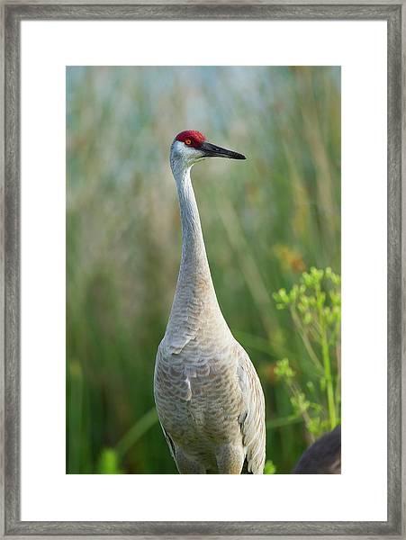 Sandhill Crane, Grus Canadensis, Viera Framed Print