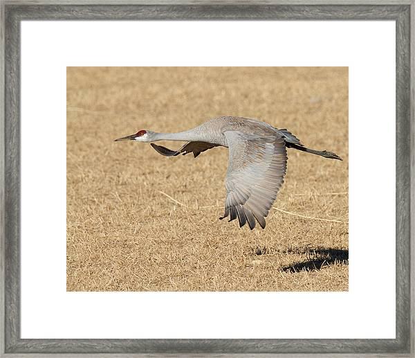 Sandhill Crane In Flight Framed Print