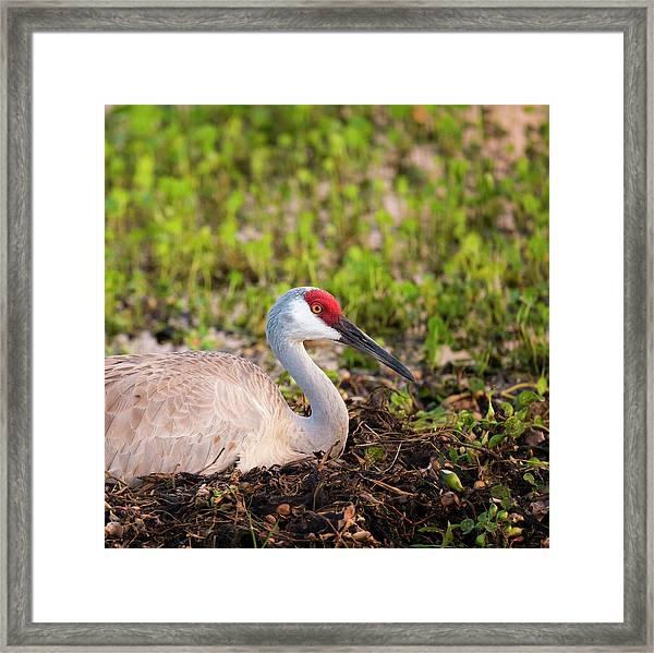 Sandhill Crane On Nest After Sunset Framed Print