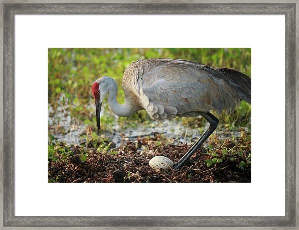 Sandhill Crane Squatting Back On Nest Framed Print