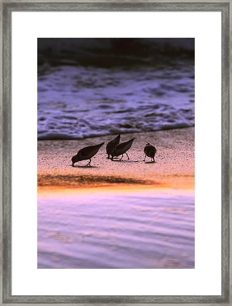 Sandpiper Morning Framed Print