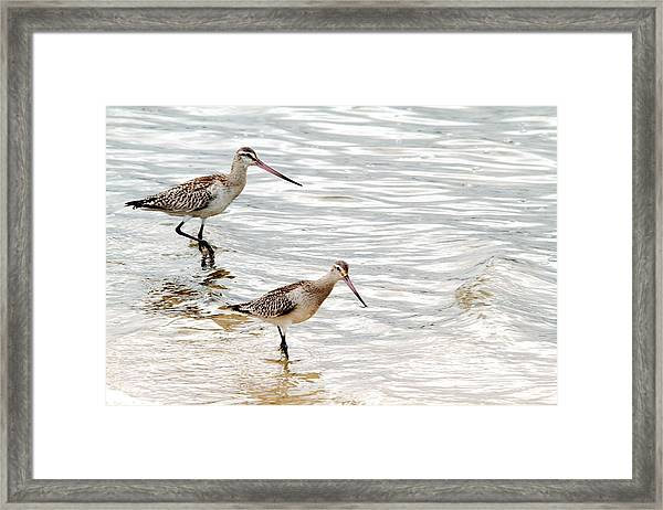 Sandpipers Foraging Framed Print