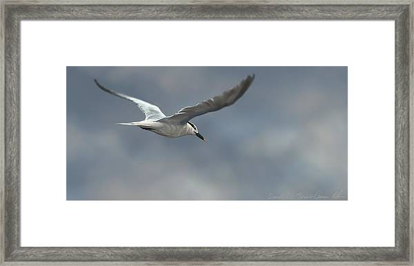 Sandwich Tern Framed Print