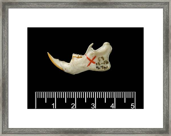 Santa Lucia Giant Rice Rat Jaw Framed Print by Natural History Museum, London/science Photo Library