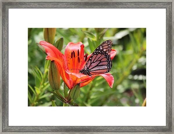 Saskatchewan Prairie Lily And Butterfly Framed Print