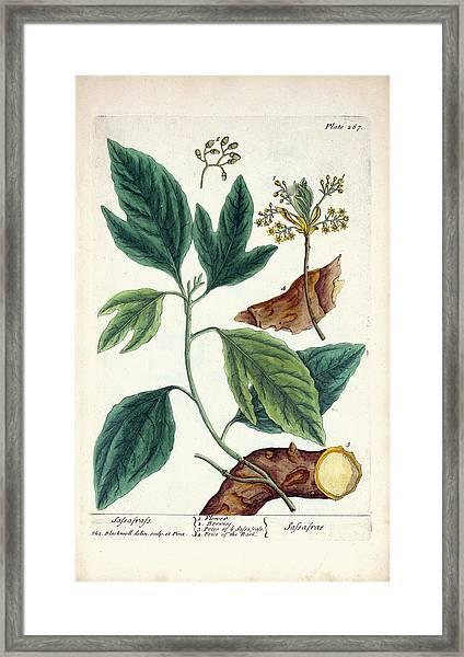 Sassafras Plant Framed Print by National Library Of Medicine