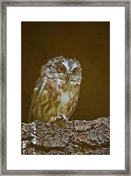 Saw-whet Owl Framed Print