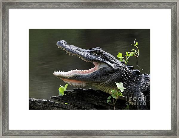 Say Aah - American Alligator Framed Print