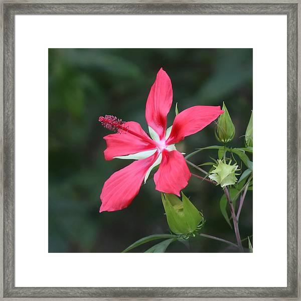 Scarlet Hibiscus #3 Framed Print