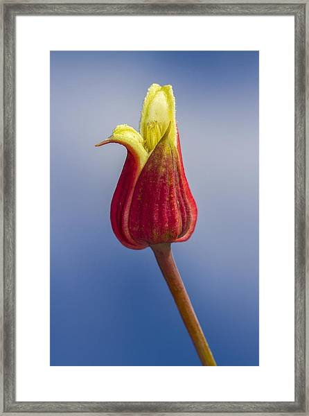 Scarlet Leatherflower Framed Print
