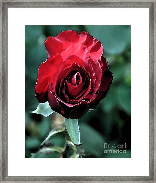 Scarlet Rose Framed Print